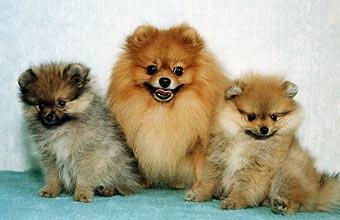 шпиц щенки фото немецкий