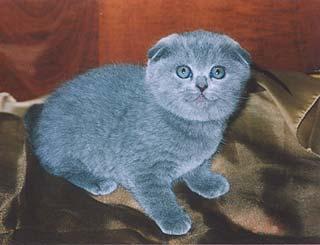 шотландский вислоухий кот фото голубой