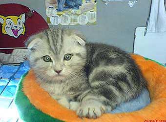 Шотландский вислоухий котенок 2 5