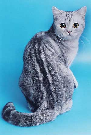 британские кошки фото.