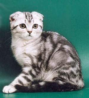 Вислоухие и британские кошки
