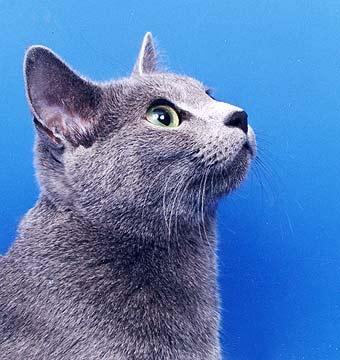 фото русской голубой кошки - фотография 1.