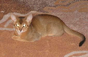Абиссинский котенок окрас дикий