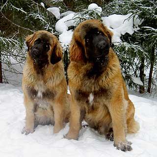 http://www.alvas.ru/Foto/Leonberger_14.jpg