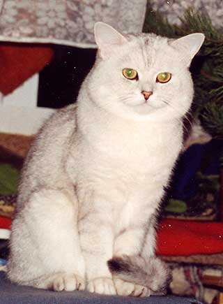 Больше фото.  Британский короткошерстный кот In.Ch (WCF) nom BIS.