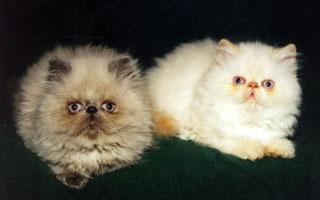 котята гималайские фото