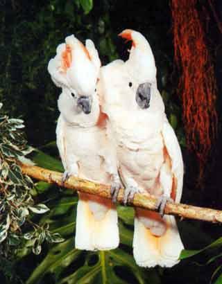 роскошный. попугай, который со временем привыкнет к Вам. станет ручным...