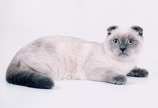 Шотландский кот блю-поинт на вязка