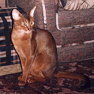 Вязка британских кошек основные правила для владельцев