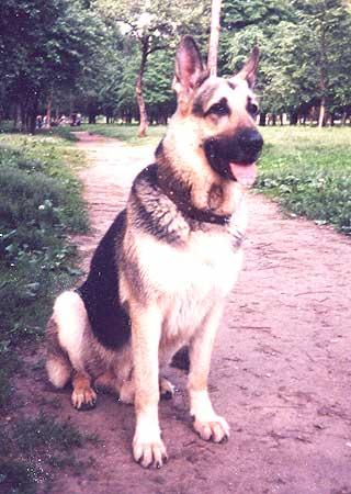 Восточно-европейская овчарка Варгун