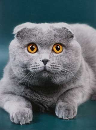 Приглашаем на вязку кошек-продажа котят.