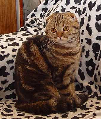 продам, кошка, вислоухие котята