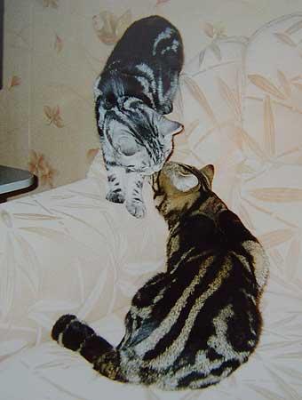 Вислоухие, британские полосатые котята, кошки, коты, табби окрасов Животные, птицы - Кошки, котята - Питомники.