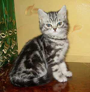 котята полосатые британцы фото