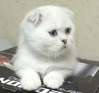 Кот шотландец белый