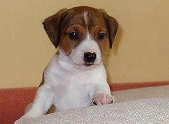 щенок джек-рассел терьера фото