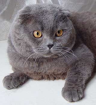 Шотландские вислоухие кошки котята