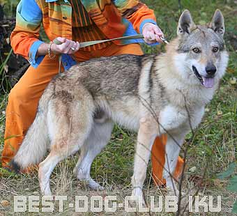 чешский волчак цена и фото