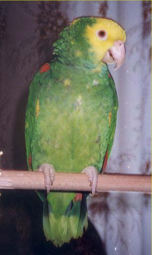 Как сделать воротник для попугаев 442
